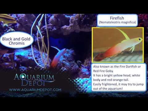 Firefish Goby -  A Terrific Ornamental Fish