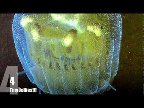 Caroline's Top 10 Jellyfish Facts