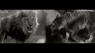 İnanılmaz Aslan Kaplan Dövüşleri -1- Tamamen Gerçek