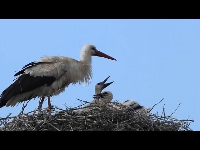 Gólyacsalád Nyár /Stork Family Summer