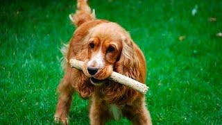 """Как научить собаку команде """"Апорт"""". Дрессировка щенка спаниеля"""