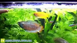 Лялиус - маленькая рыба для аквариума купить(Купить прямо сейчас рыбку для аквариума Лялиус на сайте http://aquazona.com.ua/cat/akvariumnai_riba/ribka/index.html по самым горячим..., 2014-02-04T05:03:31.000Z)
