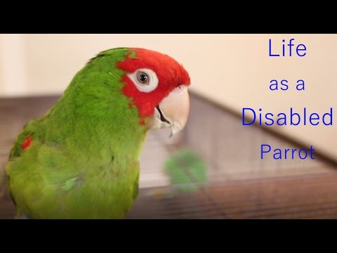 Life as a Disabled Parrot - Queenie's Story