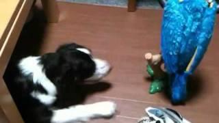 English Springer Spaniel Claire vs Parrots. イングリッシュスプリン...