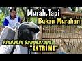 Dapet Cendet Bagus Dari Pak Tani Blitar Murah Tapi Bukan Murahan Romo Channel  Mp3 - Mp4 Download