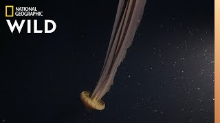 A DreamLike Giant Jellyfish   Hunt For the Giant Squid