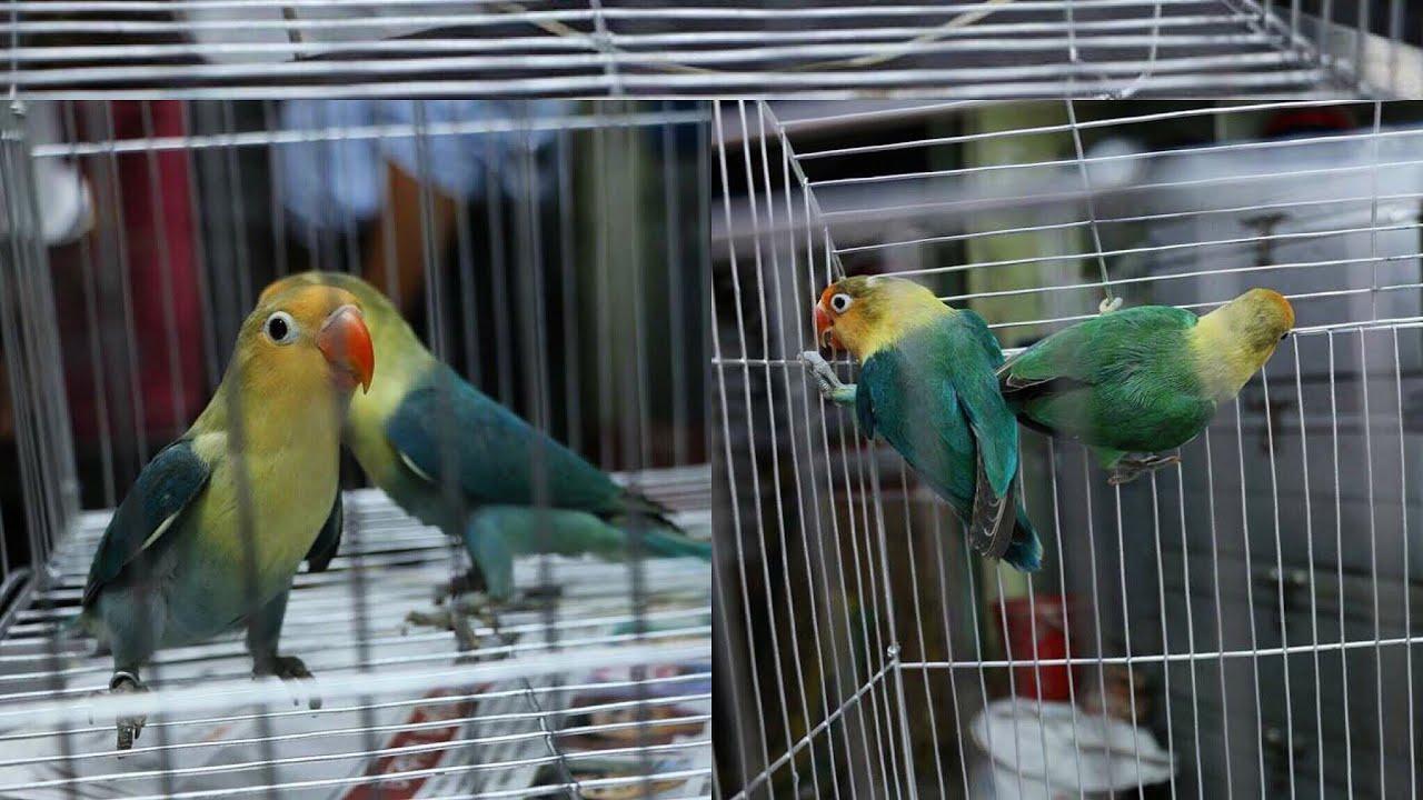 Par Blue Fischer S Lovebird Or American Par Blue Mutation Lovebird Rare Mutations Youtube