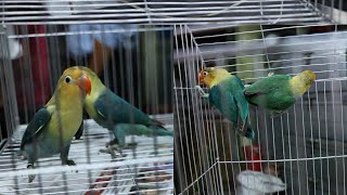 Video Par Blue Fischer's Lovebird or American Par Blue Mutation Lovebird || Rare Mutations download MP3, 3GP, MP4, WEBM, AVI, FLV Juni 2018
