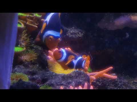 Amphiprion Percula(Clownfisch) beim