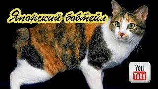 Японский бобтейл - кошка с коротким хвостом
