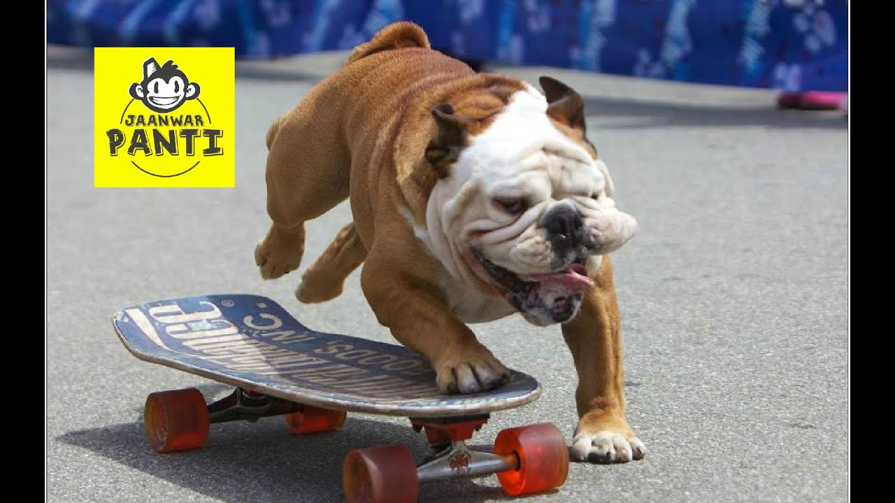 bulldog ki skateboarding - youtube