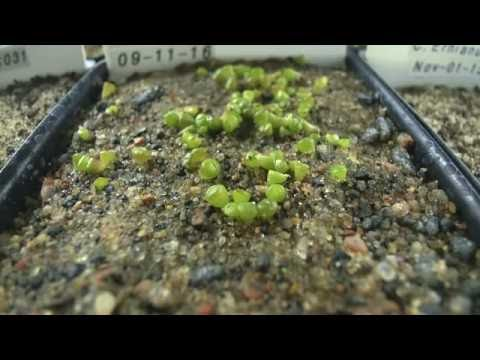 Lithops terricolor C132  Seed Sprouting  Time Lapse