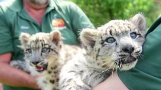 OMG baby snow leopards!