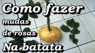 Como fazer mudas de rosa com uma batata crua / How to make rose seedlings with a raw potato