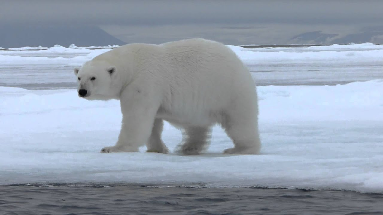 Oso Polar Youtube