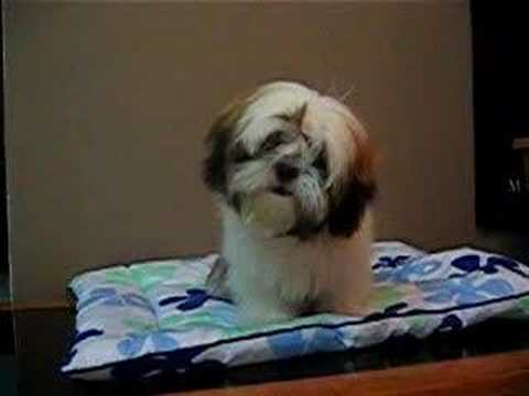 6 month old shih tzu britney the 6 month old shih tzu youtube 1035