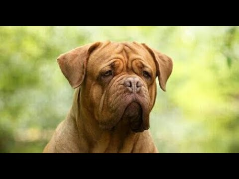 O Poder Do Dogue De Bordeaux Youtube