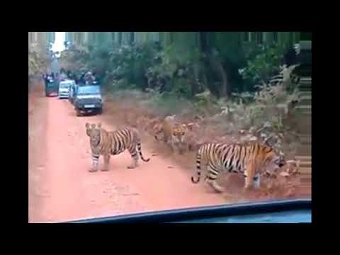 Gorumara National Park | Sudden entry of tigers  | Lataguri Forest | Mitzinfinity