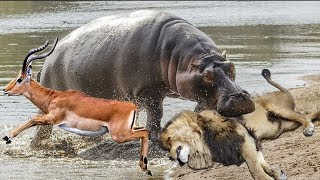 カバはライオンハンティングからインパラを救うために来る!カバ インパ...