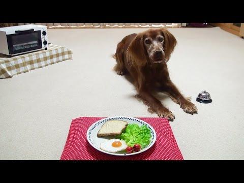 Trick Dog Champion TDCH - Kiwi the Irish Setter