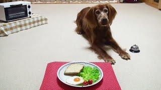 Trick Dog Champion TDCH  Kiwi the Irish Setter