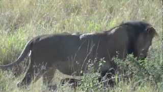 Lion Wildebeest Carcass Drag #1