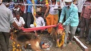Индийцы женят собак, чтобы вызвать дождь (новости)