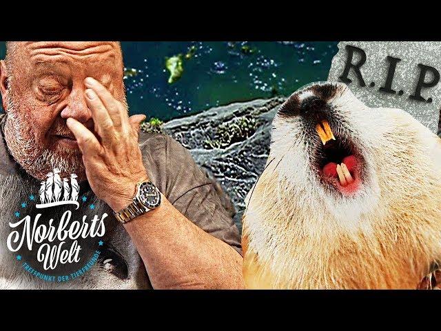 SELBSTMORDGEFÄHRDET! | LEMMINGE SPRINGEN IN ABGRUND! | NORBERTS WELT | Zoo Zajac