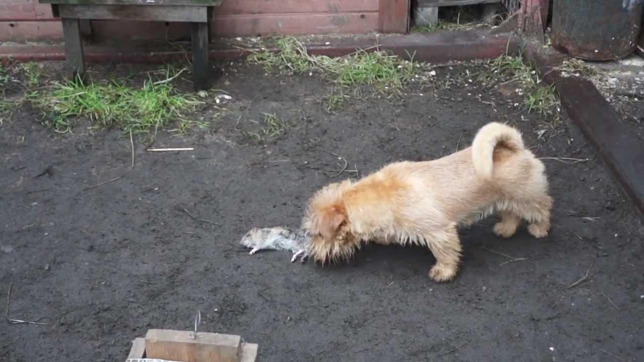 Норфолк терьер на притравке (norfolk terrier vs rat)