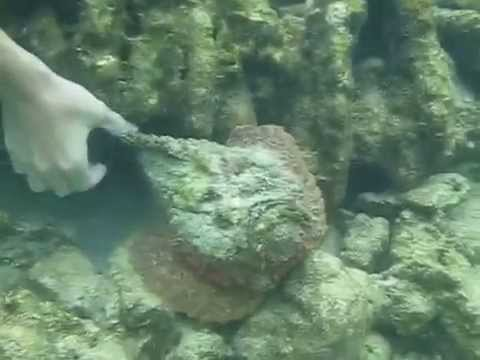 Stonefish touching one of the world 39 s most venomous fish for Stone fish facts