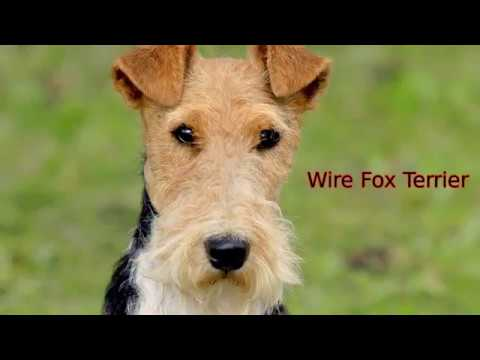 Wire Fox Terrier - medium size dog breed