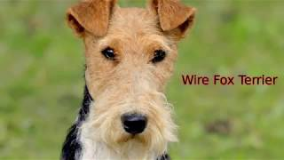 Wire Fox Terrier  medium size dog breed