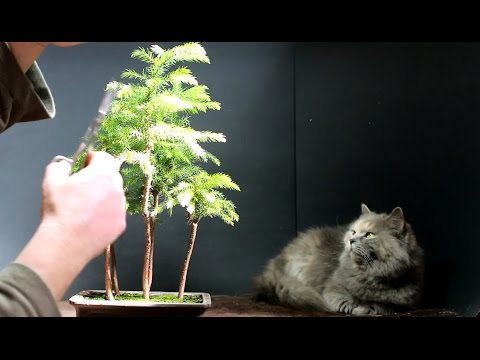 Norfolk Island Pine Bonsai, March 2015