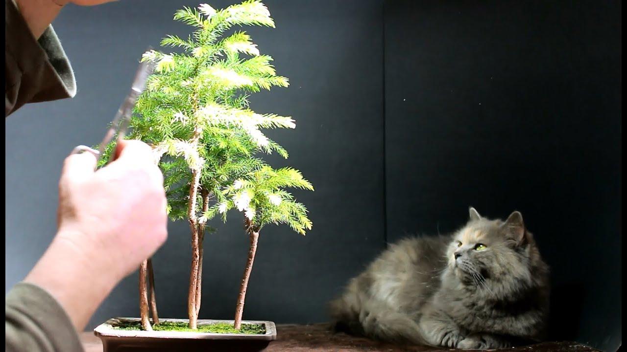 Norfolk Island Pine Bonsai March 2015 Youtube