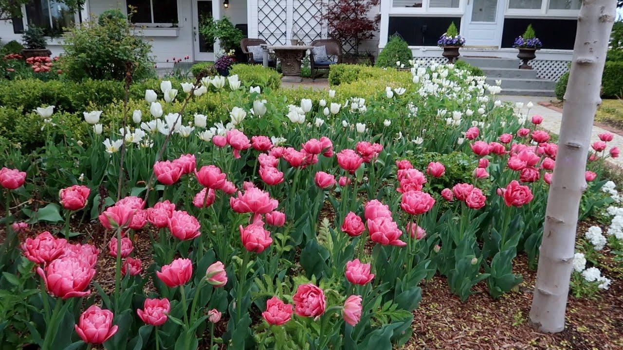Tulip Update Weekly Recap Garden Answer Youtube
