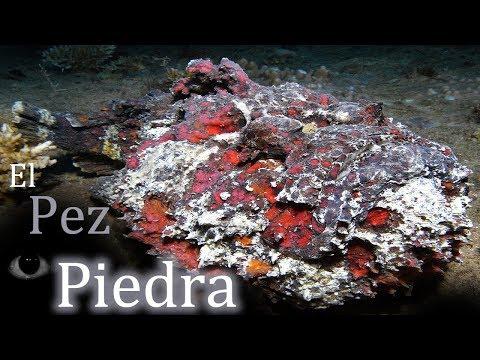 El Pez Piedra: El pez más venenoso del mundo