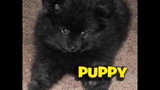 8 Week Old Pomeranian Or Black Bear?