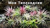 Тилландсии в доме; во флорариуме, орхидариуме при постоянно повышенной в них влажности можно успешно выращивать атмосферные тилландсии.