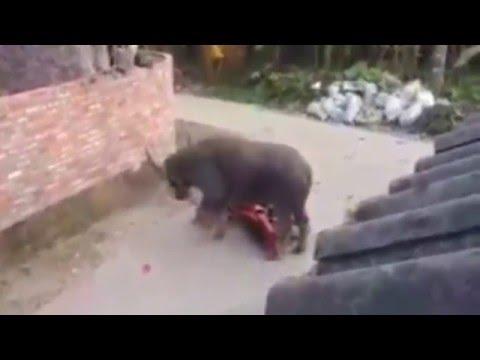 Trâu điên bị giết thịt không chết quay lại tấn công người dân ở Hải Dương