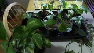 how to get a bushier, full pothos / philodendron plant