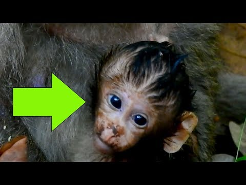 Why Baby Tito Get Dirty Face And Wet All Body|New Born Baby Monkey Tito Black Face But So Cute