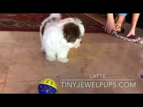 Latte The Havanese Puppy