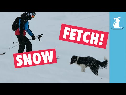 Hilarious Dog Plays Fetch With Skiers In The Snow