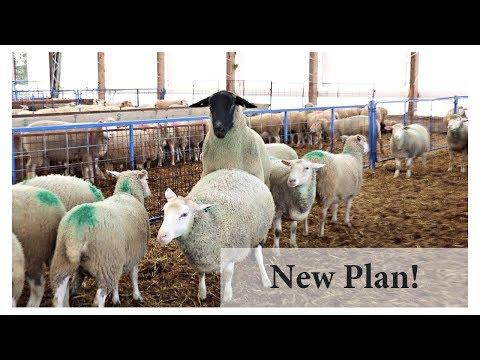 Breeding Ewes In Season (BACK TO BASICS):  Vlog 101