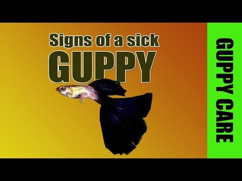 Signs Of A Sick Guppy