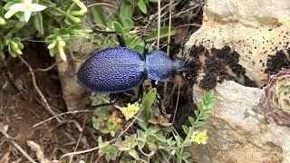 Gambar cover Salyangoz Yiyen/Büyük Mavi Yer Böceği/Carabus (Procerus) scabrosus