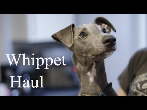 Whippet Haul - introducing Pointy Faces and a Q&A