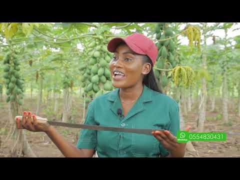 THE GHANAIAN FARMER: INTERVIEW ON PAWPAW FARMING IN GHANA | 2020