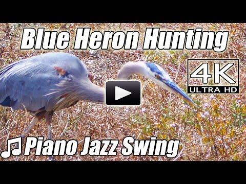 piano-jazz-swing-blue-grey-heron-hunting-bird-watching-instrumental-song-music-nature-video-4k