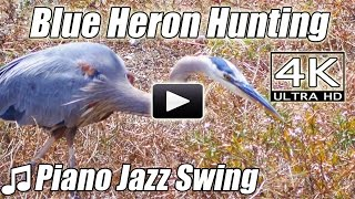 Piano Jazz Swing BLUE GREY HERON HUNTING Bird Watching Instrumental Song Music Nature Video 4K